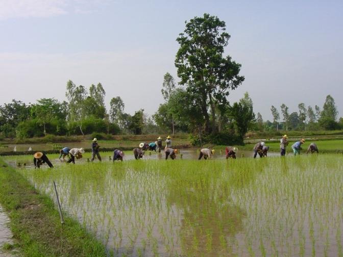 rice-filed